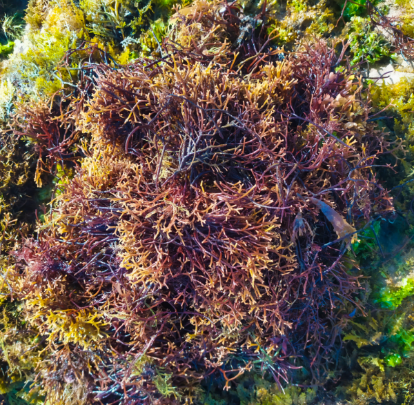 Can Sea Moss Help You Lose Weight?