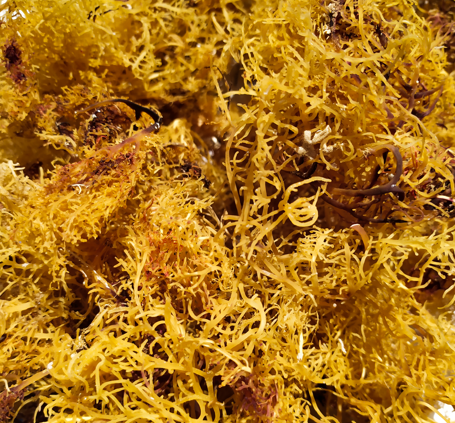 Sea Moss: Benefits, Nutrition, and How to Prepare It