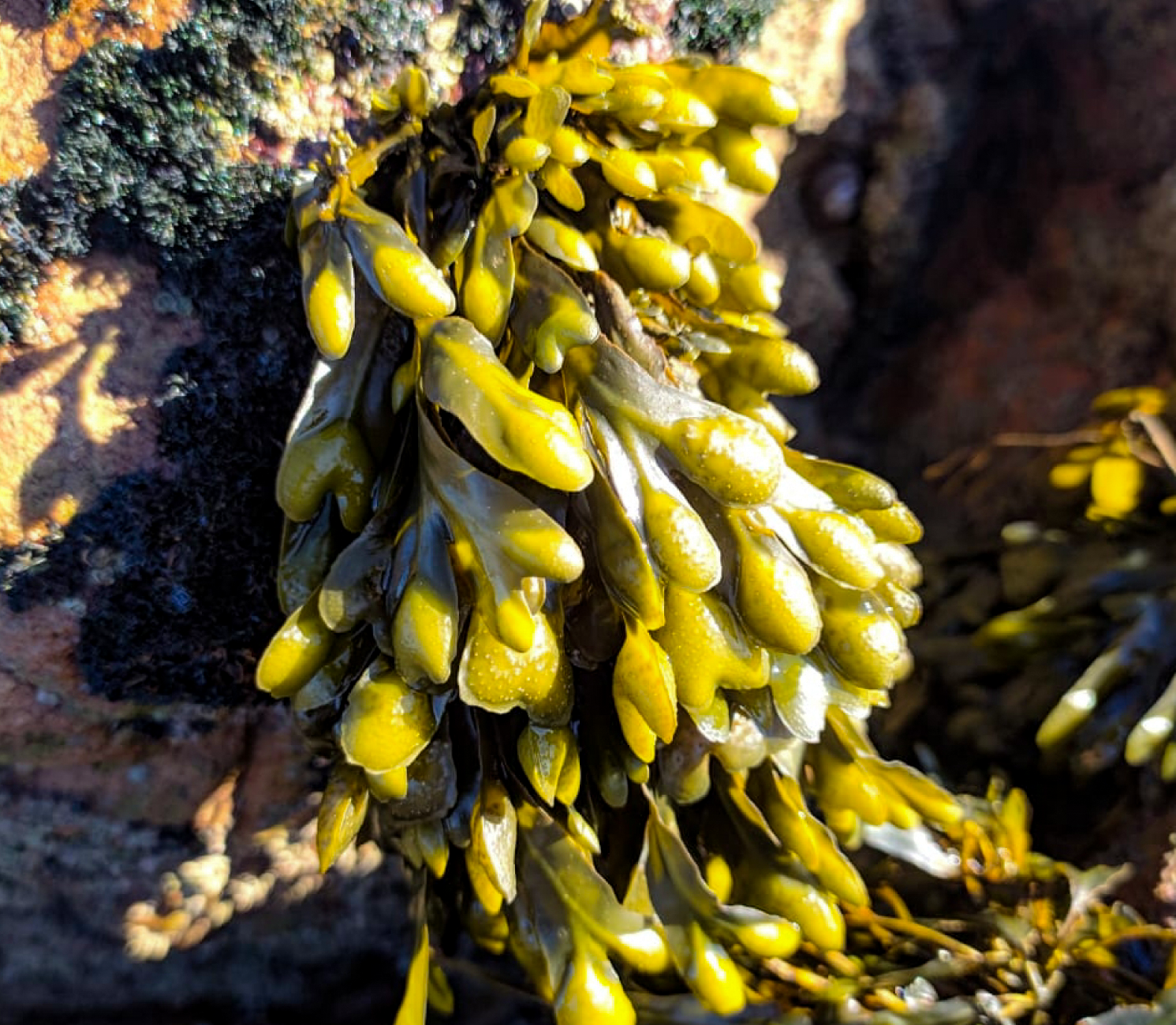 Bladderwrack: Benefits, Uses, and Side Effects