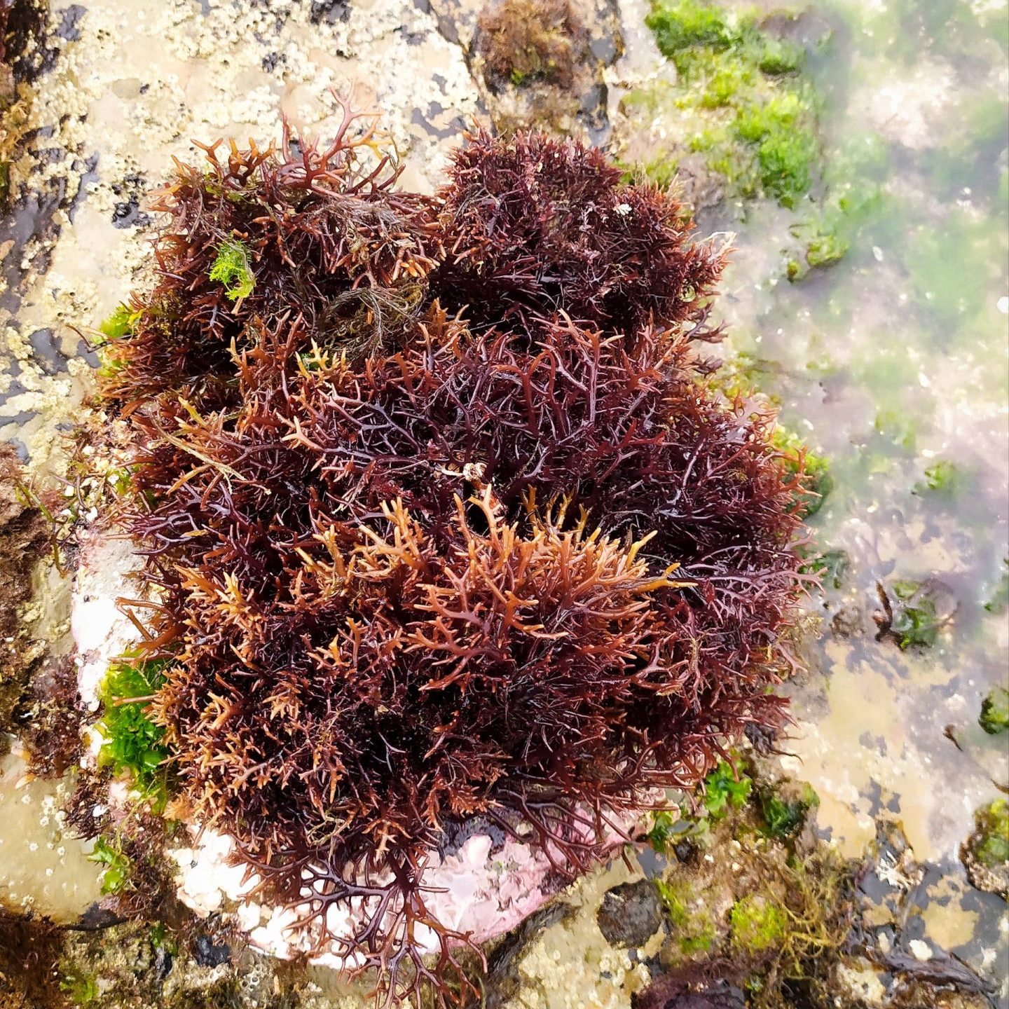 Can Sea Moss Help You Get Pregnant?