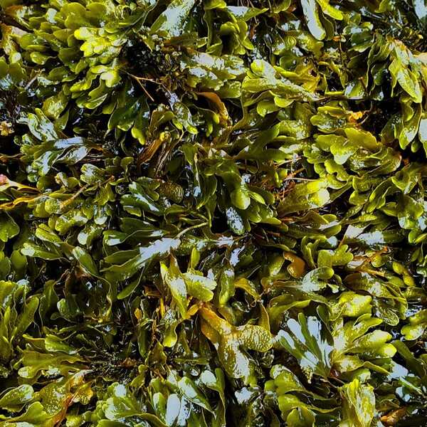 bladderwrack benefits sea moss and bladderwrack benefits bladderwrack powder what is bladderwrack good for